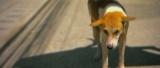 Avene - Koh Samui Dogs